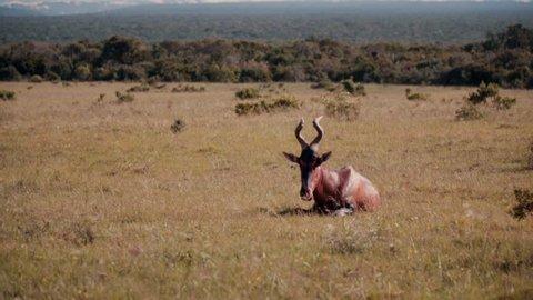 Antelope lying in African bushveld