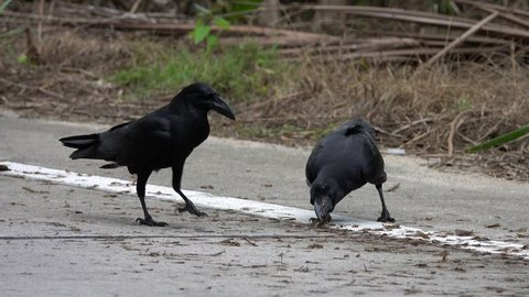 Common Raven Birds (Corvus Corax) Eating Food on the Road