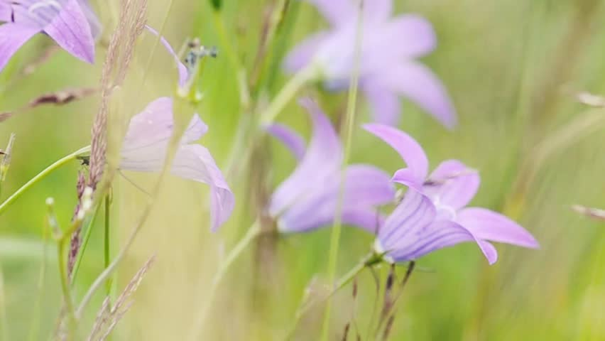 purple Campanula meadow flowers moving in the wind