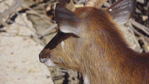Sitatunga or marshbuck (Tragelaphus spekii) is swamp-dwelling antelope found throughout central Africa. Sitatunga is medium-sized antelope.