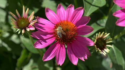 Close-up of a purple cone-flower ( Echinacea purpurea ) with a bee collects nectar, native 30fps - Cinelike D - 4K video