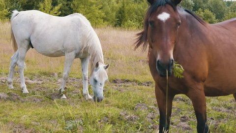 Beautiful gey white, bay and chestnut horses eating grass together on the field during summer day in 4K