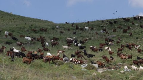 A large herd of goats walking across the mountainside