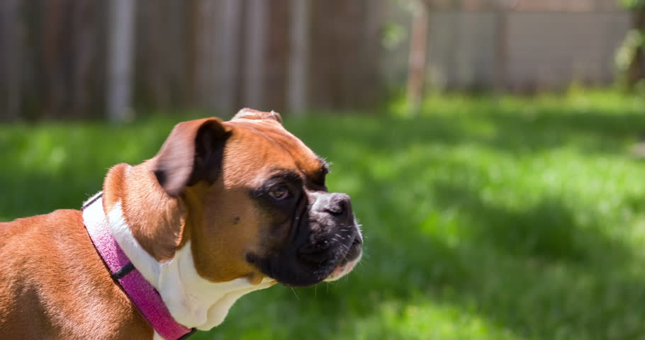 Boxer dog standing in yard of green grass 4k | Shutterstock HD Video #10130195