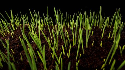 Time-lapse of germinating sprouts of wheat isolated on black background. Zoom out. Close-up