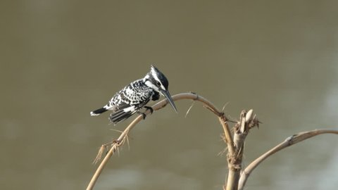Pied kingfisher is a water kingfisher
