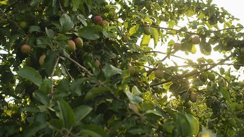 Green apples on a tree branch in the garden. Apple tree after the rain in the evening. Panning shot.