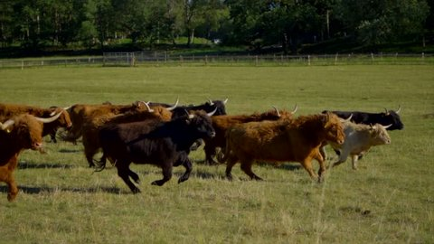 Highland Cattle in a pasture during summer in Sweden