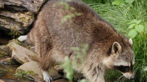 A raccoon walking through plants