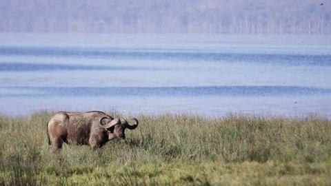 Buffalo in the wild Africa / Kenya / Mombasa wildlife (RedTech) (Slowmo)