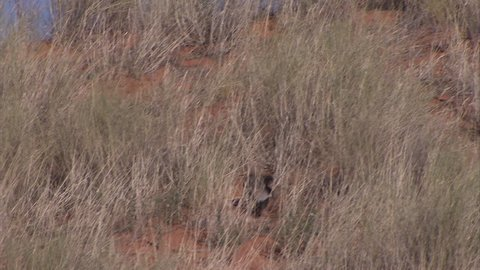 Honey badger running through the grass in the kalahari