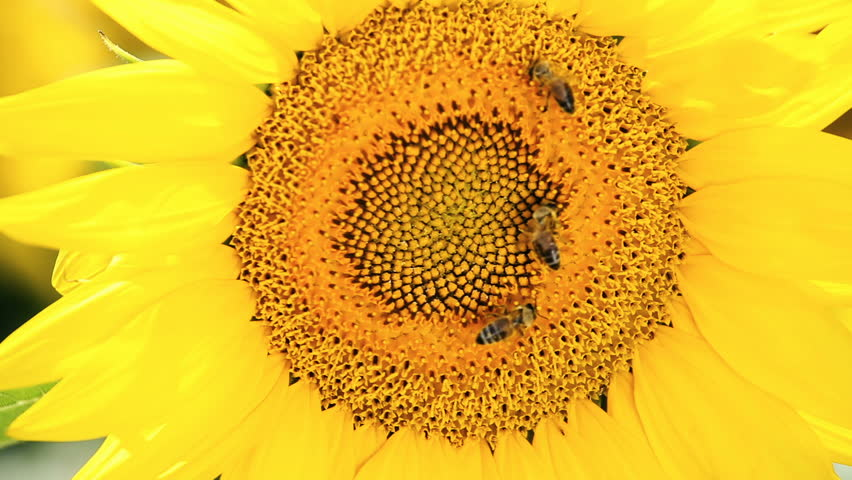 Sunflower and bees gathering the pollen on flower head   Shutterstock HD Video #1013266055