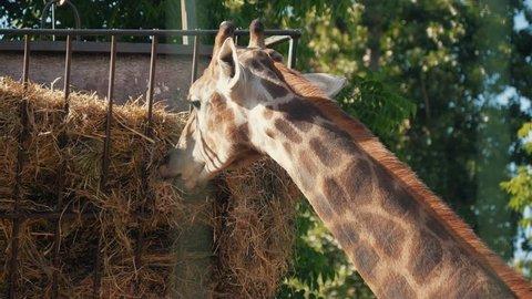 Beautiful young giraffe eating in the reserve. The giraffe's head. Giraffe eats grass.