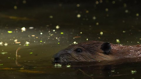 North American beaver (Castor canadensis) swiming in the creek