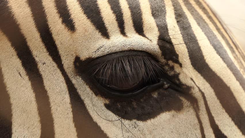Zebra is looking for food.4k | Shutterstock HD Video #1013440625