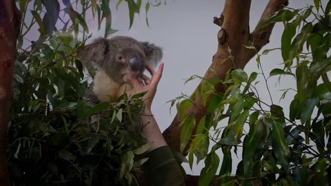 Slow Motion of veterinarian giving medication to sick koala. Vet taking care a Phascolarctos cinereus on eucalyptus tree. Hands of doctor feeding medicine via mouth. Concept of Animal's Sickness-Dan