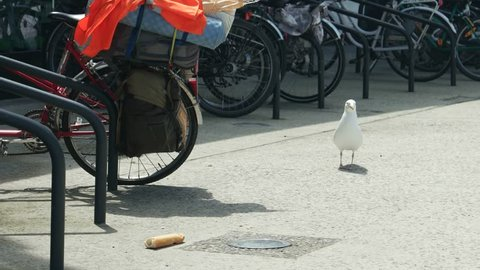 The seagull looks at the piece of bread that she stole from the bicycle trunk in the parking lot
