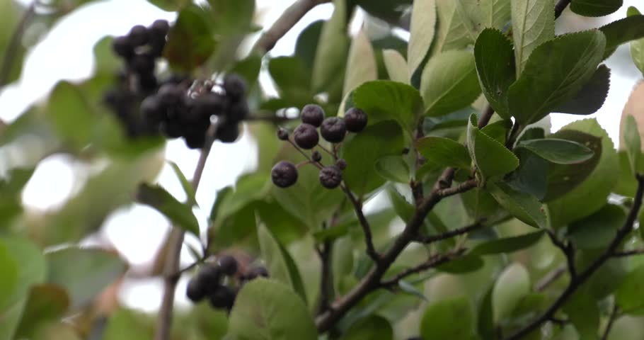 Chokeberry grows on a tree. Many branches and leaves. Small black fruit. 4K, UHD, 50fps,Panning,Wide