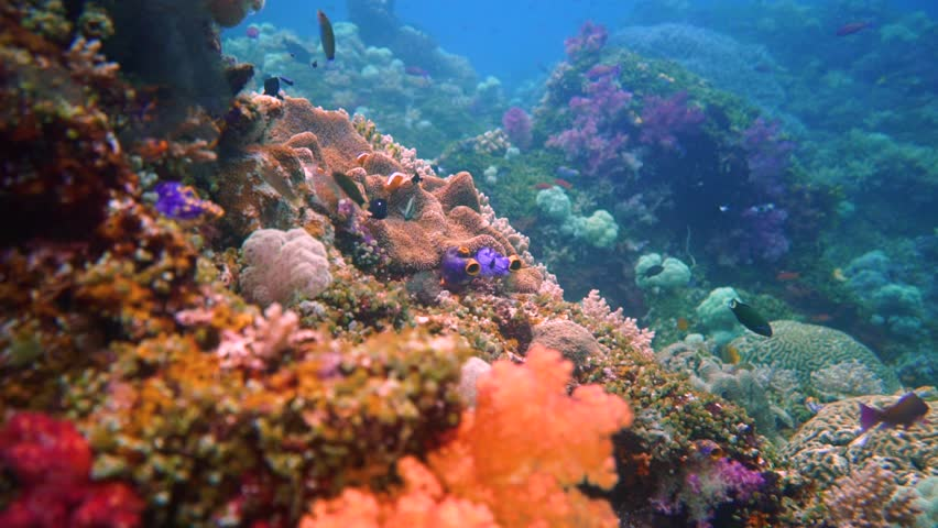 Camera flying through a colorful healthy coral reef with a lot of reef fish. Camera also passes an anemone with some guarding clown fish. This is shot in Misool, Indonesia, one of the last paradises.