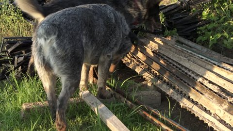 Dogs hunting for an animal in a stack of wood.