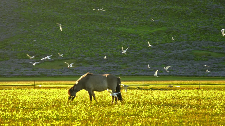 Horse grazing under swarm of arctic tern birds, slow motion Icelandic summer.  | Shutterstock HD Video #1013540015