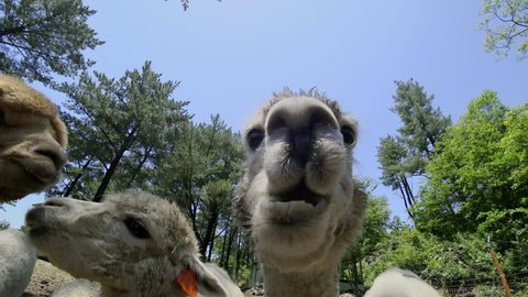 Feeding Alpacas (Vicugna pacos). Close Up View