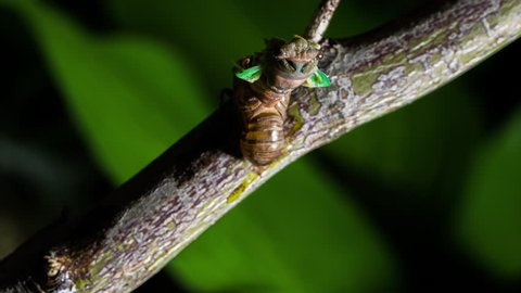 Time lapse of cicada hatching from nymph to adult at night. Metamorphosis time lapse of insect changing and transforming into its final stage. Concept of new beginning and reincarnation.