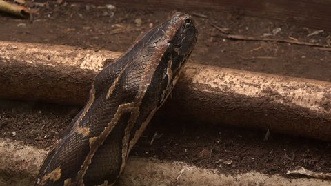 4K close up shot of Boa constrictor snake head