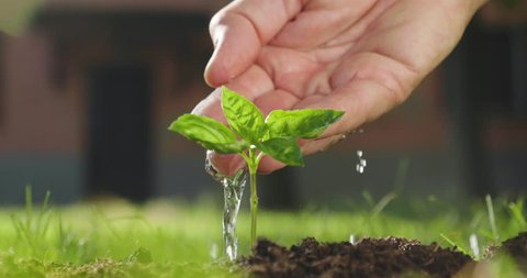 A hand of a peasant man watering a freshly planted shoot to give life to a new plant.