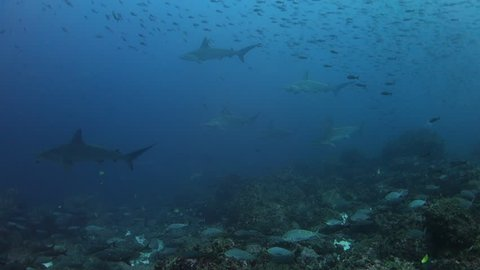 Hammerhead sharks swimming past as wall with fish on the reef in the foreground at Wolf Island in the Galapagos Islands.