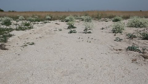 The bushes of Crambe maritima on the coast of the Azov sea. Crambe maritima ( sea kale, sea cole, seakale, sea colewort or crambe) is a species of halophytic flowering plant in the genus Crambe