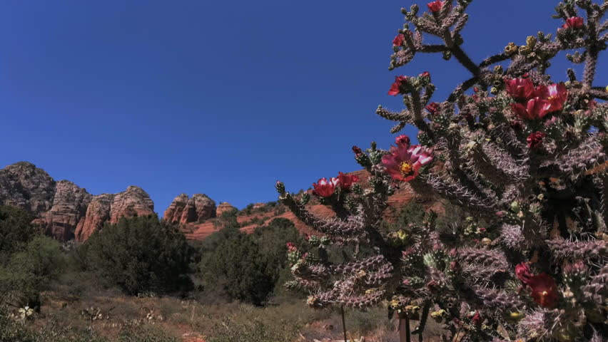 Staghorn Cholla Cactus Blowing in the Wind in Arizona Mountains