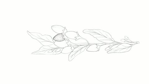 Berry Fruit, Motion Clip of Illustration Wallpaper Background of Hand Drawn Sketch of Goji Berry or Lycium Barbarum Fruits. A Good Source of Vitamin C, A, Zinc, Iron and Antioxidants.
