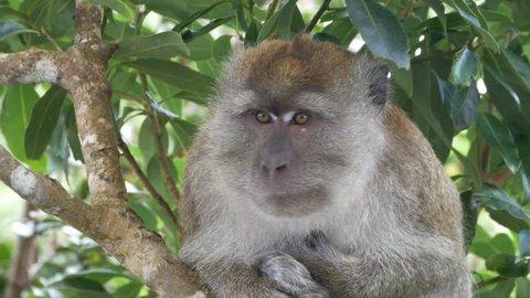 Monkey scratching head in the trees near the Skybridge on Langkawi Island Malaysia filmed in 4K UHD