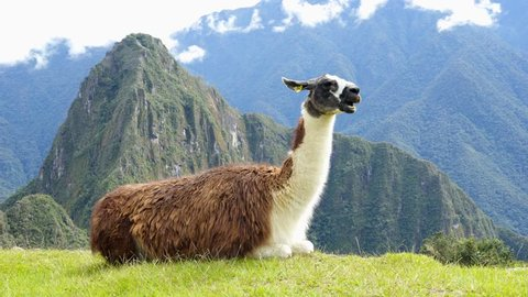 Llama in the top of the Machu Picchu Archieological Lost City of the Inca