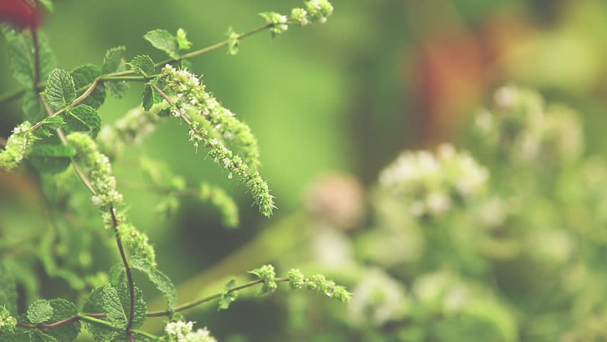 Mint blossoms with water drops in the garden. Branch of green leaf in the rain, light breeze close up, dynamic scene, toned video. #1013814695
