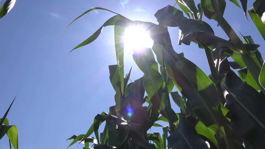 Sunlight shines through corn crop leaves, low angle view | Shutterstock HD Video #1013855195