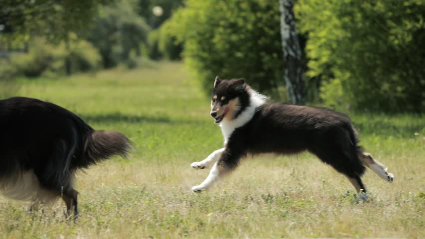 Funny Adult And Puppy Shetland Sheepdog, Sheltie, Collie Running Outdoor In Green Grass. Summer Sunny Day. Playful Pet Outdoors. Slow Motion, Slo-Mo.