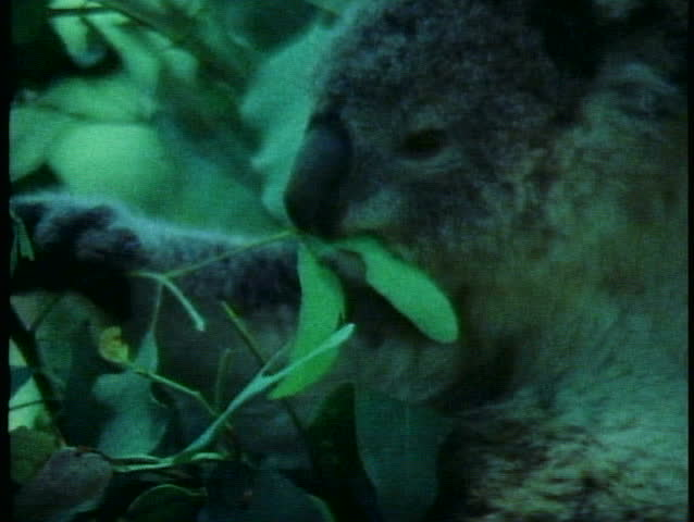 SYDNEY, AUSTRALIA, 1985, Koala, close up eating eucalyptus leaves, Australia