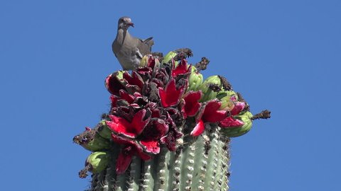Dove pecks, eats bright red saguaro cactus fruit, feeds mouthful to mate. 4K UHD 3840x2160