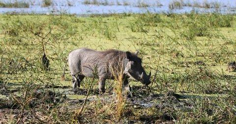 African pig Warthog in Moremi game reserve, Botswana Africa safari wildlife