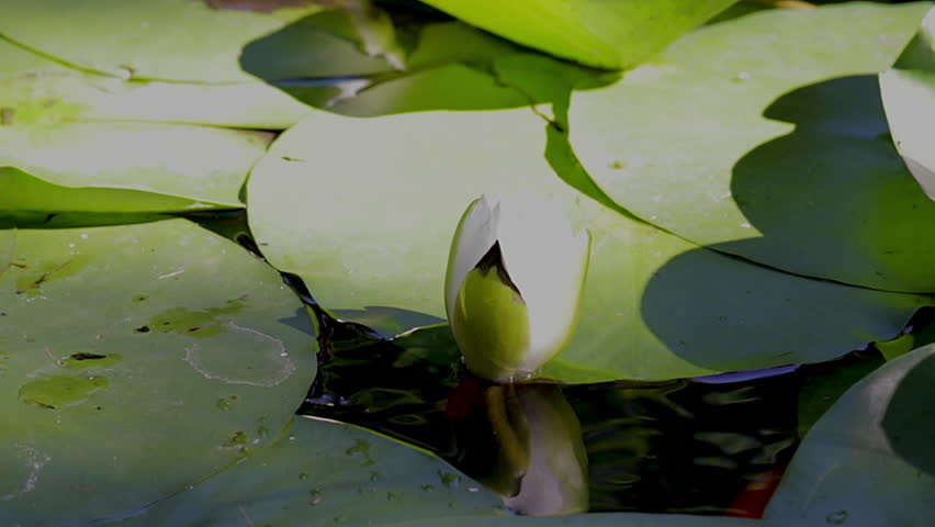 Koi fish and lotus flower in a garden pond. Small orange koi fish swimming below the surface of a pond with a white lotus flower ready to bloom. Tranquility.