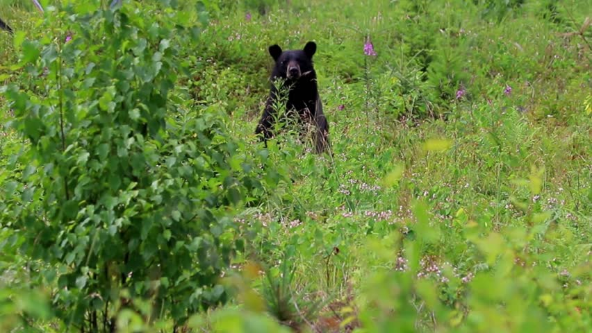 Black bear grazing and notices me and runs away  | Shutterstock HD Video #1014033095