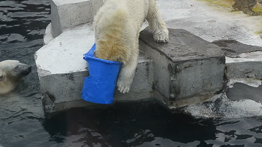 Two funny polar bears playing in water