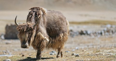 Big beautiful wild yak with brown thick long fur walks toward camera in wilderness of Himalaya mountains in northern India. Traveling to Tibet and Ladakh video background