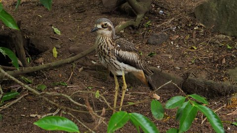 A bush stone curlew bird stands on the ground in Australia.