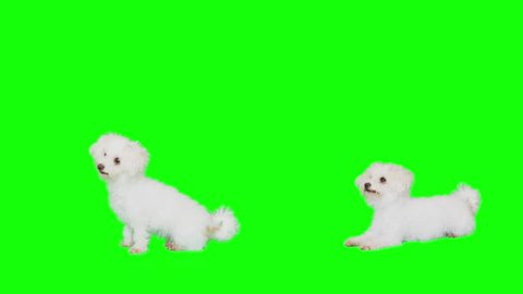 Slow Motion green screen shoot of a white small dog starts dancing pack of two.
