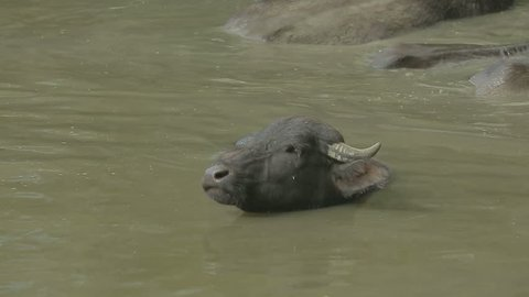 Wild Buffalo swims in a turbid water and sniffs