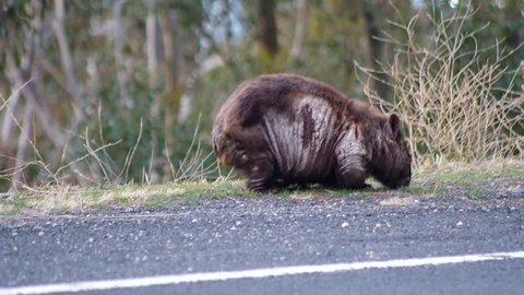 Wombat grazing by the alpine way in the snowy mountains before leaving the frame