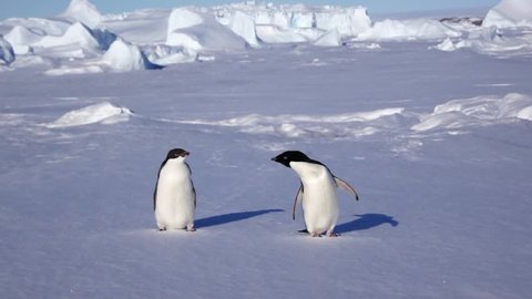 Couple of Adelie penguin on Antarctic coast